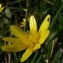 Jonathan DOBIGEON - Ranunculus ficaria L. [1753]