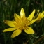 Jonathan DOBIGEON - Ranunculus ficaria L.