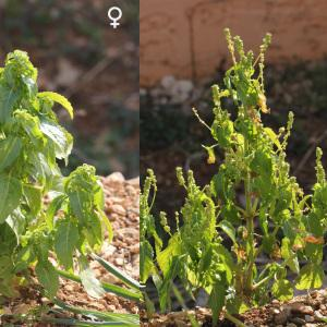 - Mercurialis annua subsp. annua