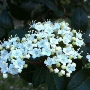 Viburnum tinus L. (Laurier-tin)