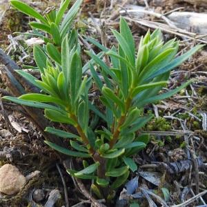 Photographie n°107975 du taxon Daphne gnidium L. [1753]