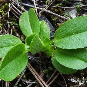 Photographie n°107983 du taxon Ononis viscosa L.