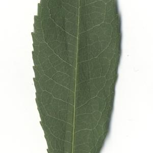 Photographie n°108087 du taxon Arbutus unedo L. [1753]