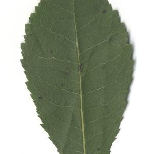 Photographie n°108088 du taxon Arbutus unedo L. [1753]