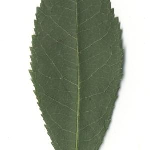 Photographie n°108089 du taxon Arbutus unedo L. [1753]