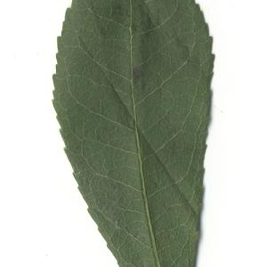 Photographie n°108092 du taxon Arbutus unedo L. [1753]