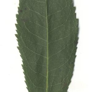Photographie n°108093 du taxon Arbutus unedo L. [1753]