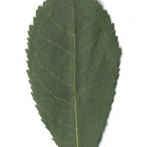 Photographie n°108094 du taxon Arbutus unedo L. [1753]
