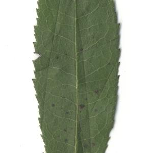 Photographie n°108096 du taxon Arbutus unedo L. [1753]