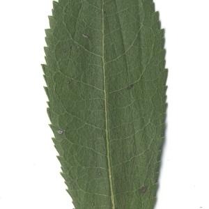 Photographie n°108097 du taxon Arbutus unedo L. [1753]