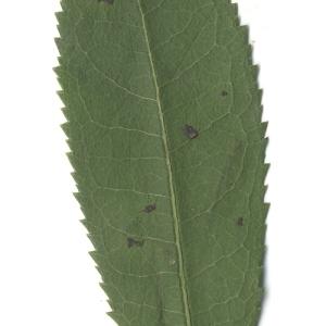 Photographie n°108098 du taxon Arbutus unedo L. [1753]