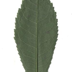 Photographie n°108099 du taxon Arbutus unedo L. [1753]