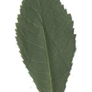 Photographie n°108100 du taxon Arbutus unedo L. [1753]