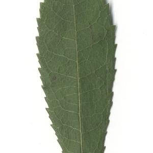 Photographie n°108101 du taxon Arbutus unedo L. [1753]