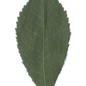 Photographie n°108103 du taxon Arbutus unedo L. [1753]