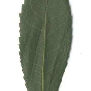 Photographie n°108104 du taxon Arbutus unedo L. [1753]