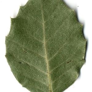 Photographie n°108247 du taxon Quercus ilex L. [1753]