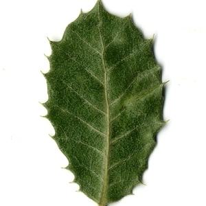 Photographie n°108248 du taxon Quercus ilex L. [1753]