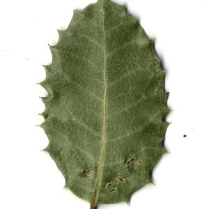 Photographie n°108249 du taxon Quercus ilex L. [1753]