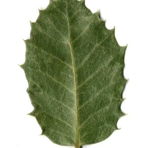 Photographie n°108250 du taxon Quercus ilex L. [1753]