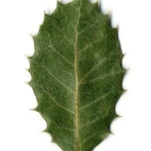 Photographie n°108251 du taxon Quercus ilex L. [1753]