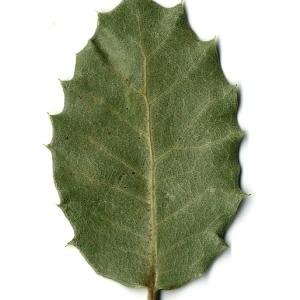 Photographie n°108254 du taxon Quercus ilex L. [1753]
