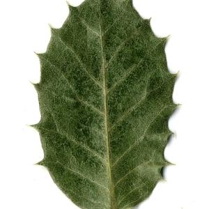 Photographie n°108255 du taxon Quercus ilex L. [1753]