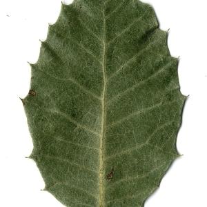 Photographie n°108256 du taxon Quercus ilex L. [1753]