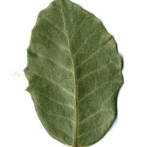Photographie n°108257 du taxon Quercus ilex L. [1753]