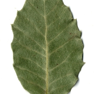 Photographie n°108258 du taxon Quercus ilex L. [1753]