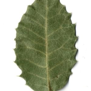 Photographie n°108259 du taxon Quercus ilex L. [1753]
