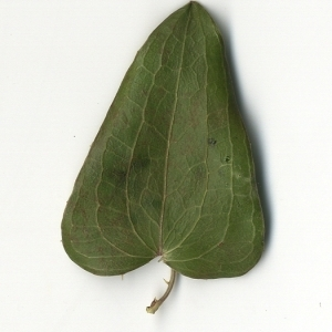 Photographie n°108264 du taxon Smilax aspera L. [1753]