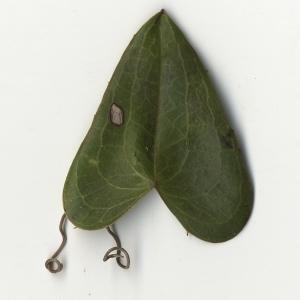 Photographie n°108269 du taxon Smilax aspera L. [1753]