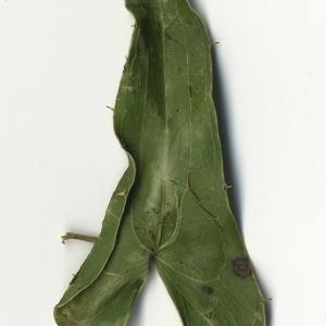 Photographie n°108270 du taxon Smilax aspera L. [1753]