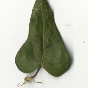 Photographie n°108273 du taxon Smilax aspera L. [1753]