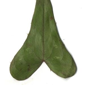 Photographie n°108274 du taxon Smilax aspera L. [1753]