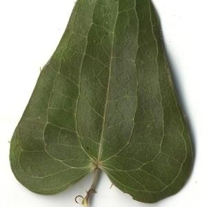 Photographie n°108277 du taxon Smilax aspera L. [1753]