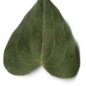 Photographie n°108278 du taxon Smilax aspera L. [1753]