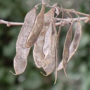 Photographie n°108320 du taxon Robinia pseudoacacia L.