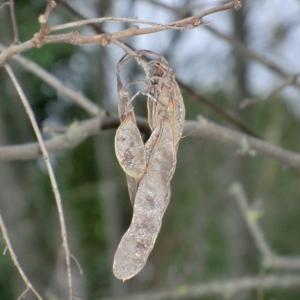 Photographie n°108321 du taxon Robinia pseudoacacia L.