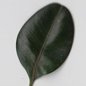 Photographie n°108423 du taxon Buxus sempervirens L. [1753]