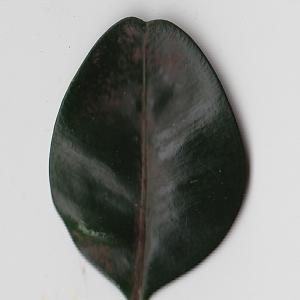 Photographie n°108424 du taxon Buxus sempervirens L. [1753]