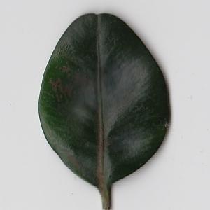 Photographie n°108425 du taxon Buxus sempervirens L. [1753]