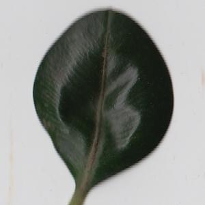 Photographie n°108428 du taxon Buxus sempervirens L. [1753]