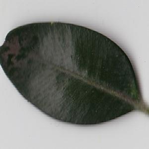 Photographie n°108430 du taxon Buxus sempervirens L. [1753]