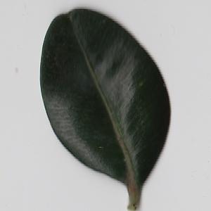 Photographie n°108431 du taxon Buxus sempervirens L. [1753]
