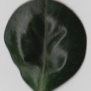 Photographie n°108436 du taxon Buxus sempervirens L. [1753]