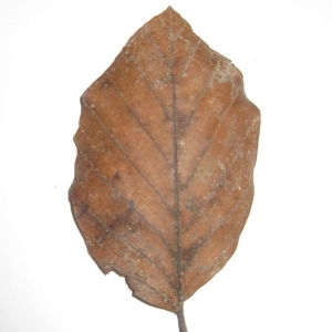 Photographie n°108450 du taxon Fagus sylvatica L.