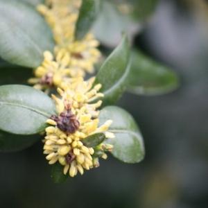 Photographie n°108460 du taxon Buxus sempervirens L.