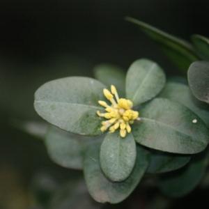 Photographie n°108461 du taxon Buxus sempervirens L.